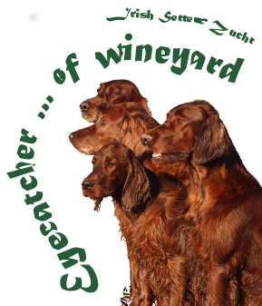 Irish Setter Zucht - Eyecatcher ... of wineyard
